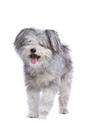 Hungarian Pumi or Hungarian herding terrier in front of a white background Imagens - 120411141