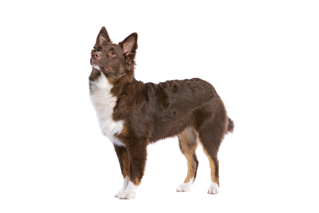Miniature American Shepherd dog in front of a white background