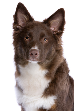 Miniature American Shepherd dog in front of a white background Imagens - 120411198