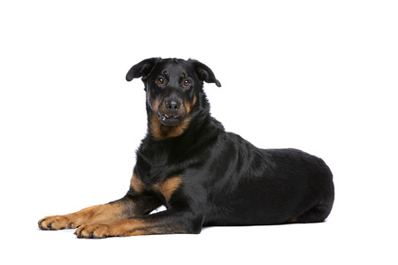 Beauceron or French Short haired Shepherd in front of a white background.