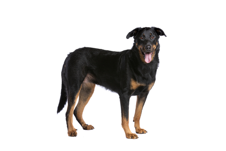 Beauceron or French Short haired Shepherd in front of a white background. Imagens - 120411243