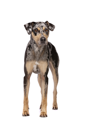 An adult merle Louisiana Catahoula Leopard dog standing in front of a white background