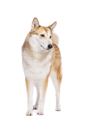 West Siberian Laika dog in front of a white background