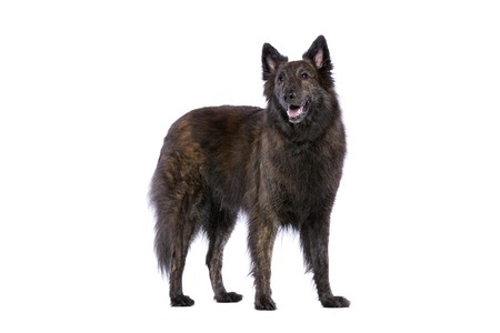 Long-haired Dutch Shepherd standing in front of a white background Imagens - 120411404