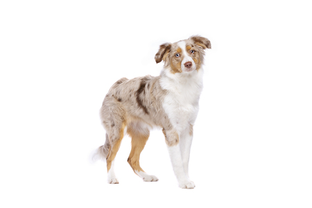 red merle Miniature American Shepherd standing in front of a white background Imagens - 120411410