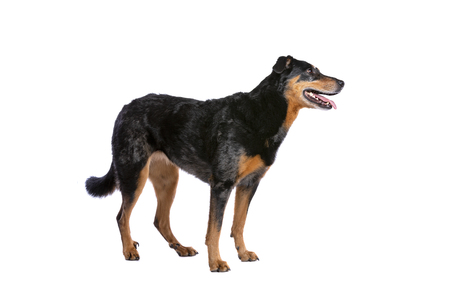 Beauceron or French Short haired Shepherd in front of a white background Imagens - 121404003