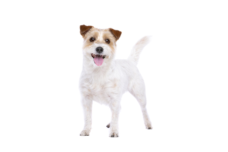 Jack Russel Terrier in front of a white background Imagens - 121404031