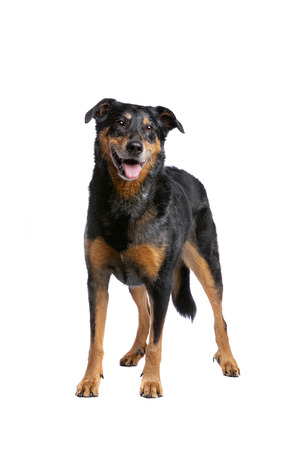 Beauceron or French Short haired Shepherd in front of a white background Imagens - 121404026