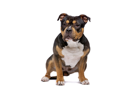 American Bully in front of a white background Imagens - 121404028