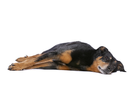 Beauceron or French Short haired Shepherd in front of a white background Imagens - 121404030