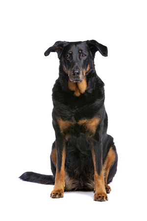 Beauceron or French Short haired Shepherd in front of a white background Imagens - 121404054