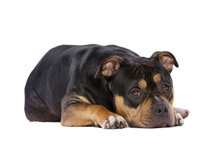 American Bully in front of a white background Imagens - 121404056
