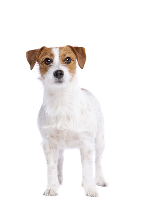 Jack Russel Terrier in front of a white background Imagens - 121404058