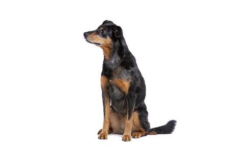 Beauceron or French Short haired Shepherd in front of a white background