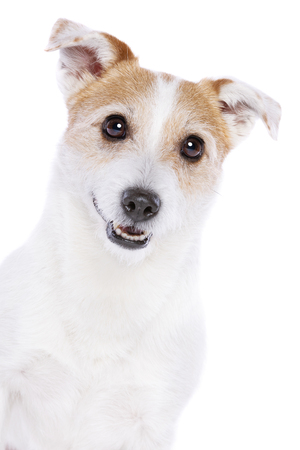 Jack Russel Terrier in front of a white background Imagens - 121404419