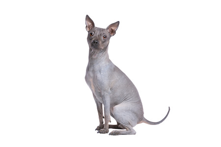 American Hairless Terrier in front of a white background Imagens - 121404420