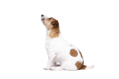 Jack Russel Terrier in front of a white background Archivio Fotografico
