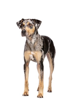 Louisiana Catahoula Leopard dog standing in front of a white background Imagens - 121404571