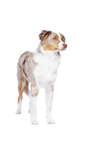 red merle Miniature American Shepherd standing in front of a white background Imagens - 121404576