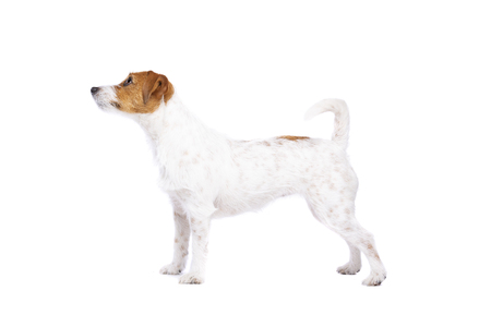 Jack Russel Terrier in front of a white background 免版税图像