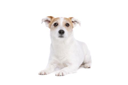 Jack Russel Terrier vor weißem Hintergrund