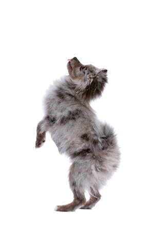 Blue Merle Pomeranian dog in front of a white background
