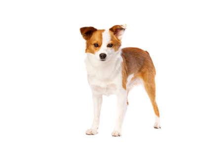 mixed breed dog of a pomerian and corgi in front of a white background