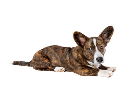 Brindle and white Cardigan Welsh Corgi dog in front of a white background