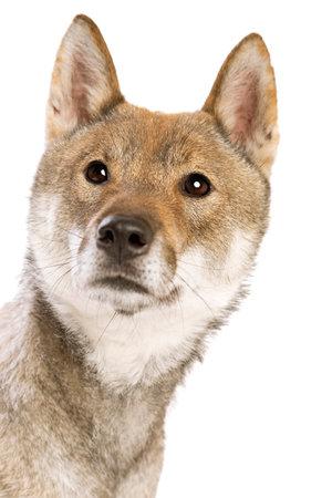 Shikoku dog isolated on a white background