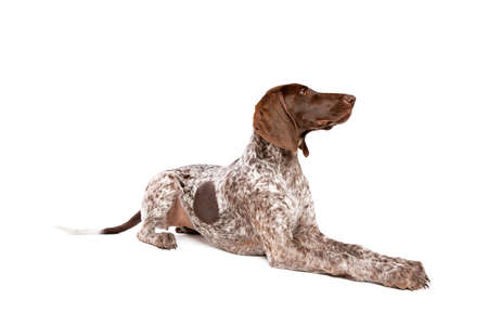 German Short haired Pointer puppy in front of a white background