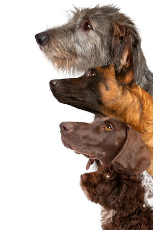 portrait of four dogs looking up in front of a white background