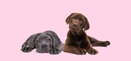 chocolate labrador and cane corso puppy isolated on a pastel pink background