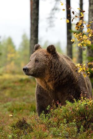 bear in forest Stok Fotoğraf