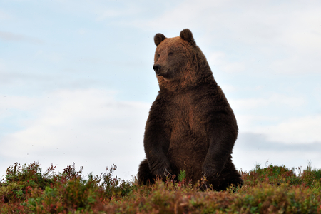 wildlife: brown bear on the hill with blue sky on background