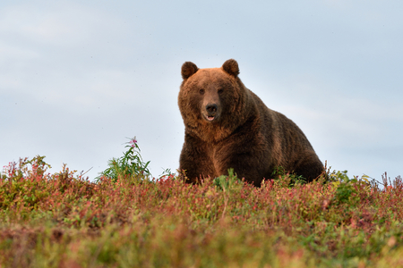big male bear on the hill with blue sky Stok Fotoğraf