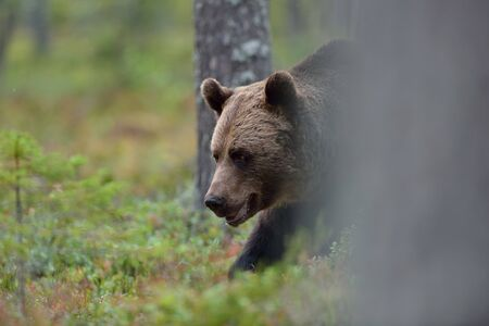 male killer: Brown bear walking in the forest Stock Photo