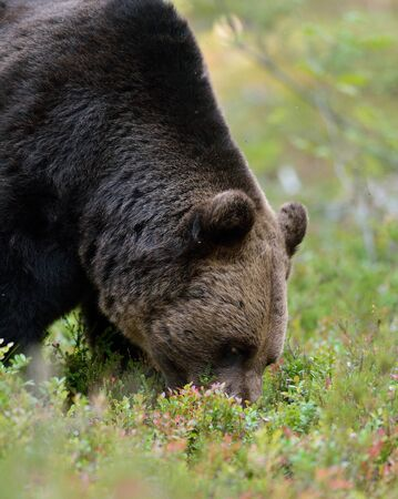 bear berry: Brown bear eating berries in the forest