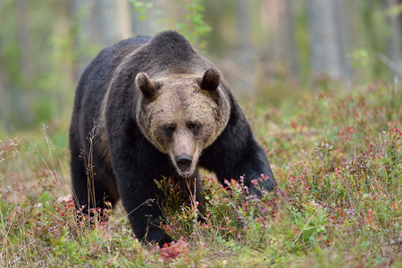 male killer: Big male brown bear in the forest Stock Photo