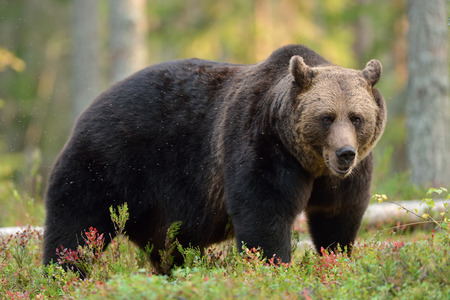 Big brown bear in forest at fall Stock Photo