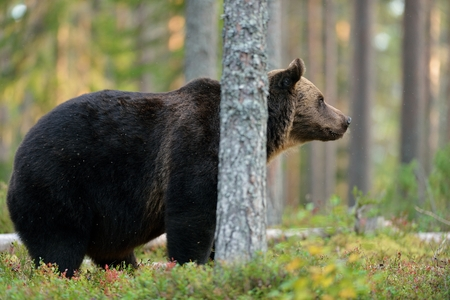male killer: Male brown bear in the forest behind a tree