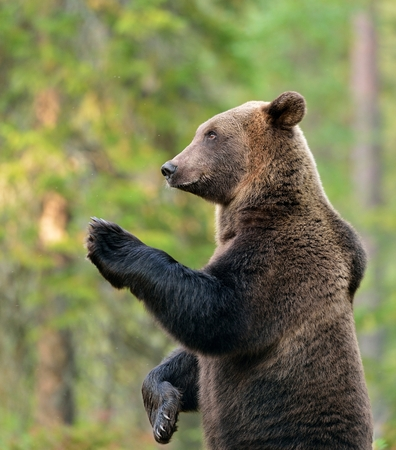 Brown bear standing Stock Photo - 46049835