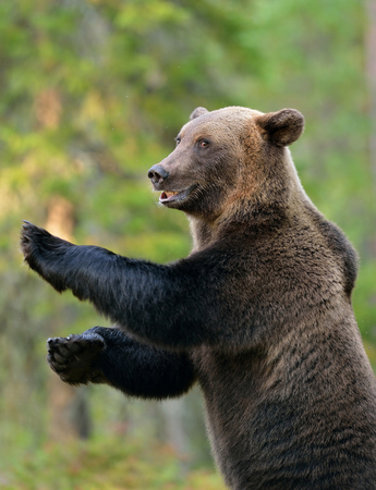 Brown bear standing, smiling, forest