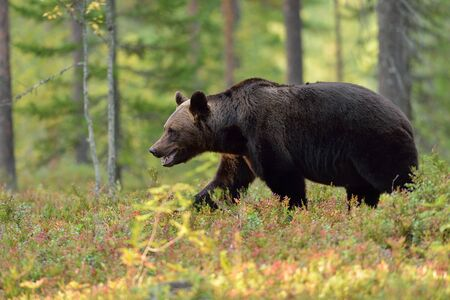 male killer: Brown bear ursus arctos walking in the forest
