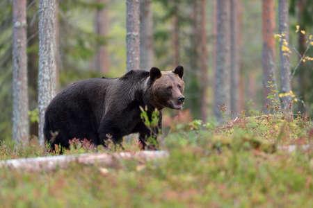 ursus: Brown bear ursus arctos in the forest Stock Photo