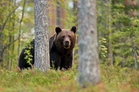 oso: Oso pardo en el bosque Foto de archivo