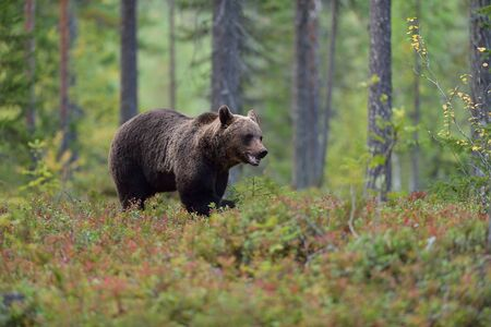 Bear walking in the forest Stock Photo