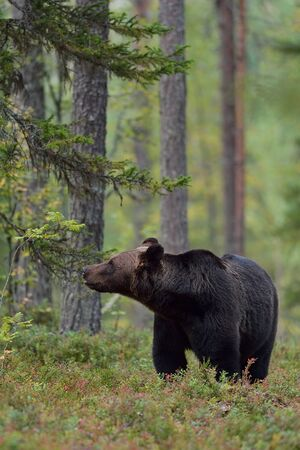 Brown bear in the forest, Finland Stok Fotoğraf