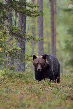 Bear in forest in the autumn Stok Fotoğraf