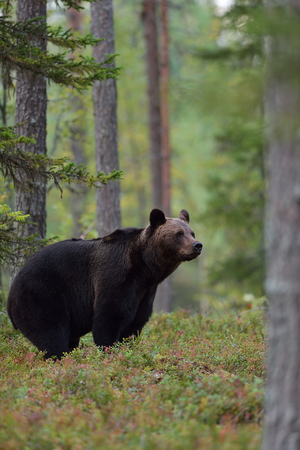 Big brown bear in the forest, Finland