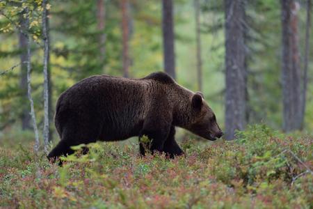 Big bear walking in forest